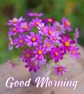 Cosmos Flower Good Morning Picture