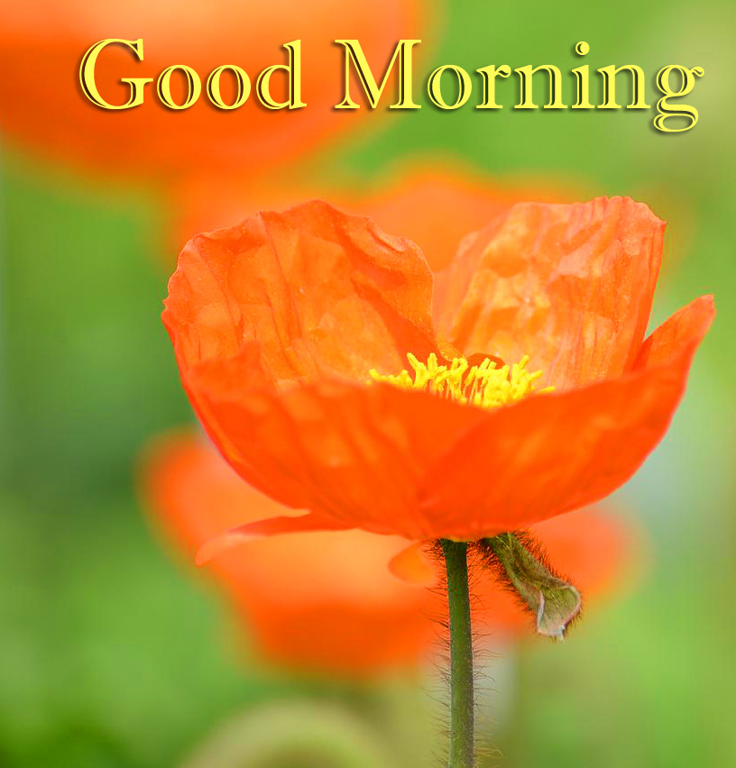 Good Morning Flower Pic HD