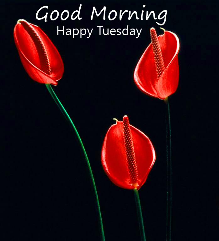 Good Morning Happy Tuesday Flower HD Wallpaper