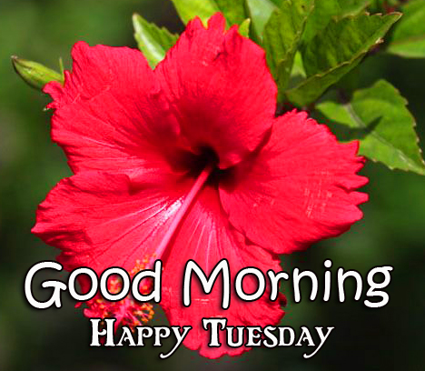 Good Morning Happy Tuesday Hibiscus Flower Picture