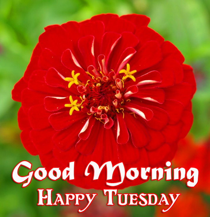 Good Morning Happy Tuesday Red Flower Pic