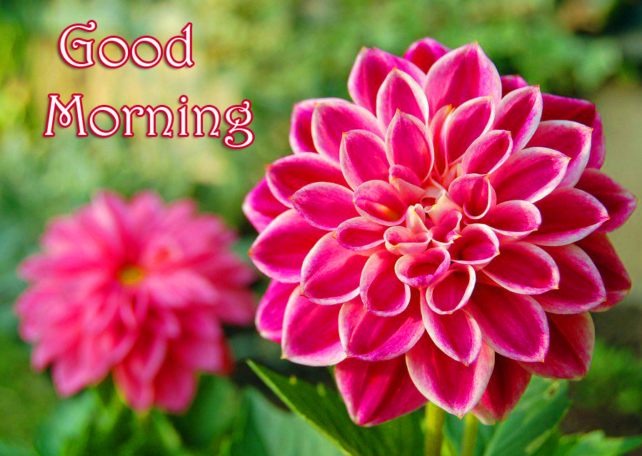 Good Morning Pink Dahlia Flowers Pic