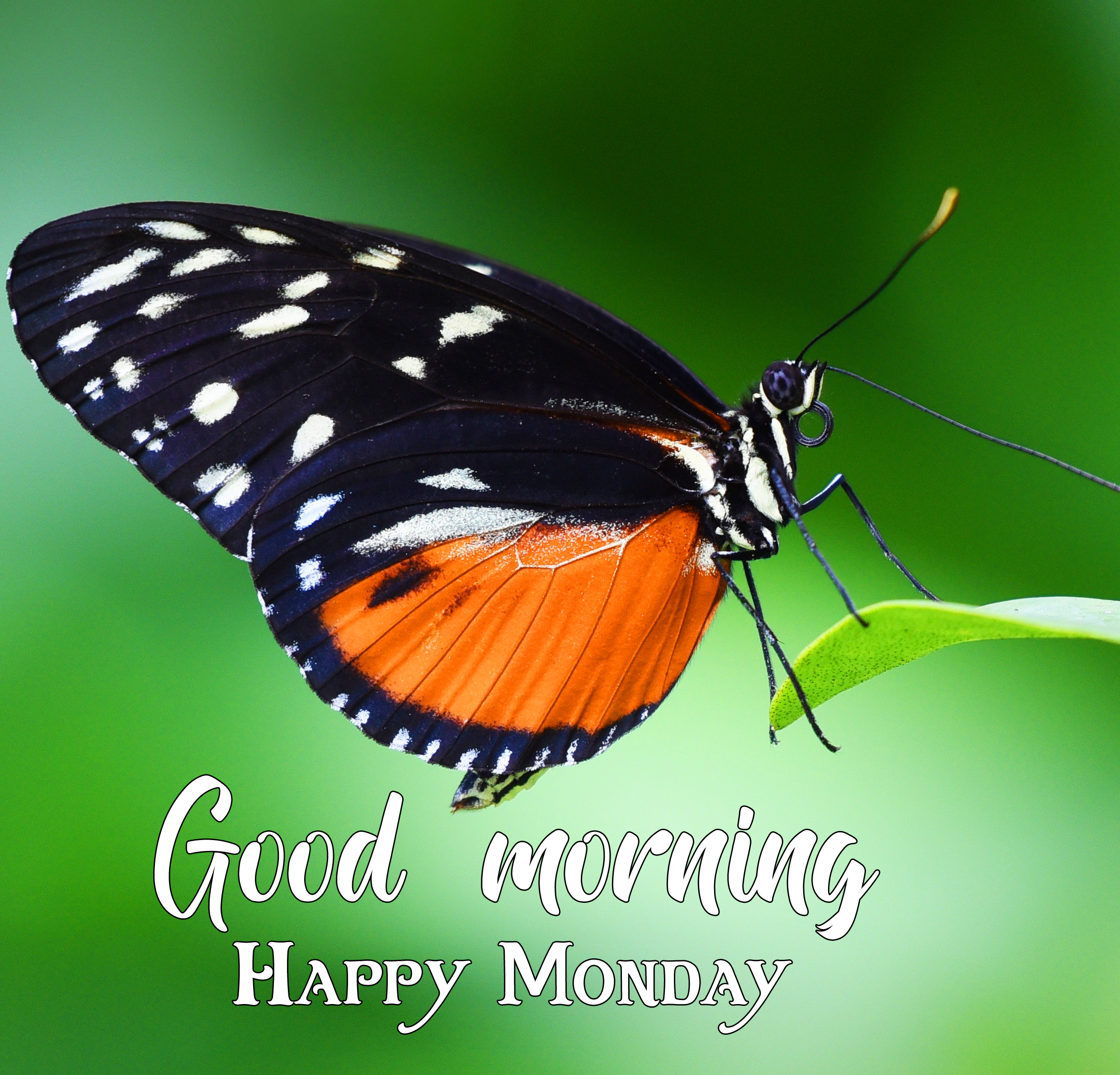 HD Butterfly Good Morning Happy Monday Image