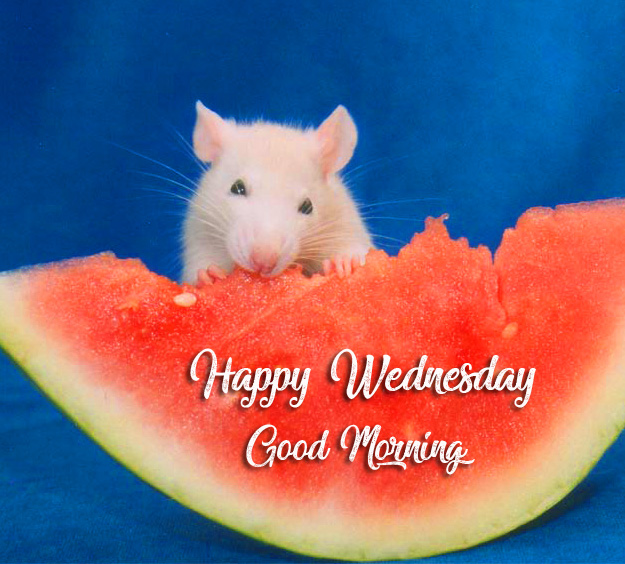 HD Rat Eating Melon with Happy Wednesday Good Morning Wish