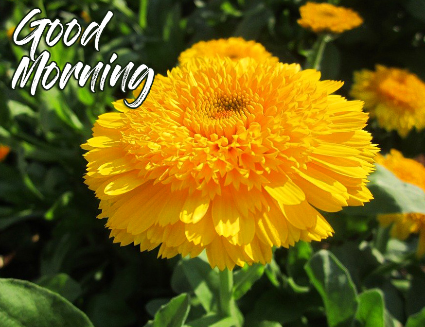 HD Yellow Flower Good Morning Picture