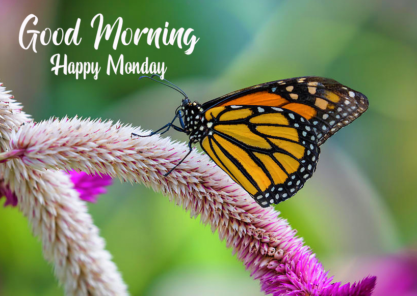 Monarchy Butterfly Good Morning Happy Monday Image