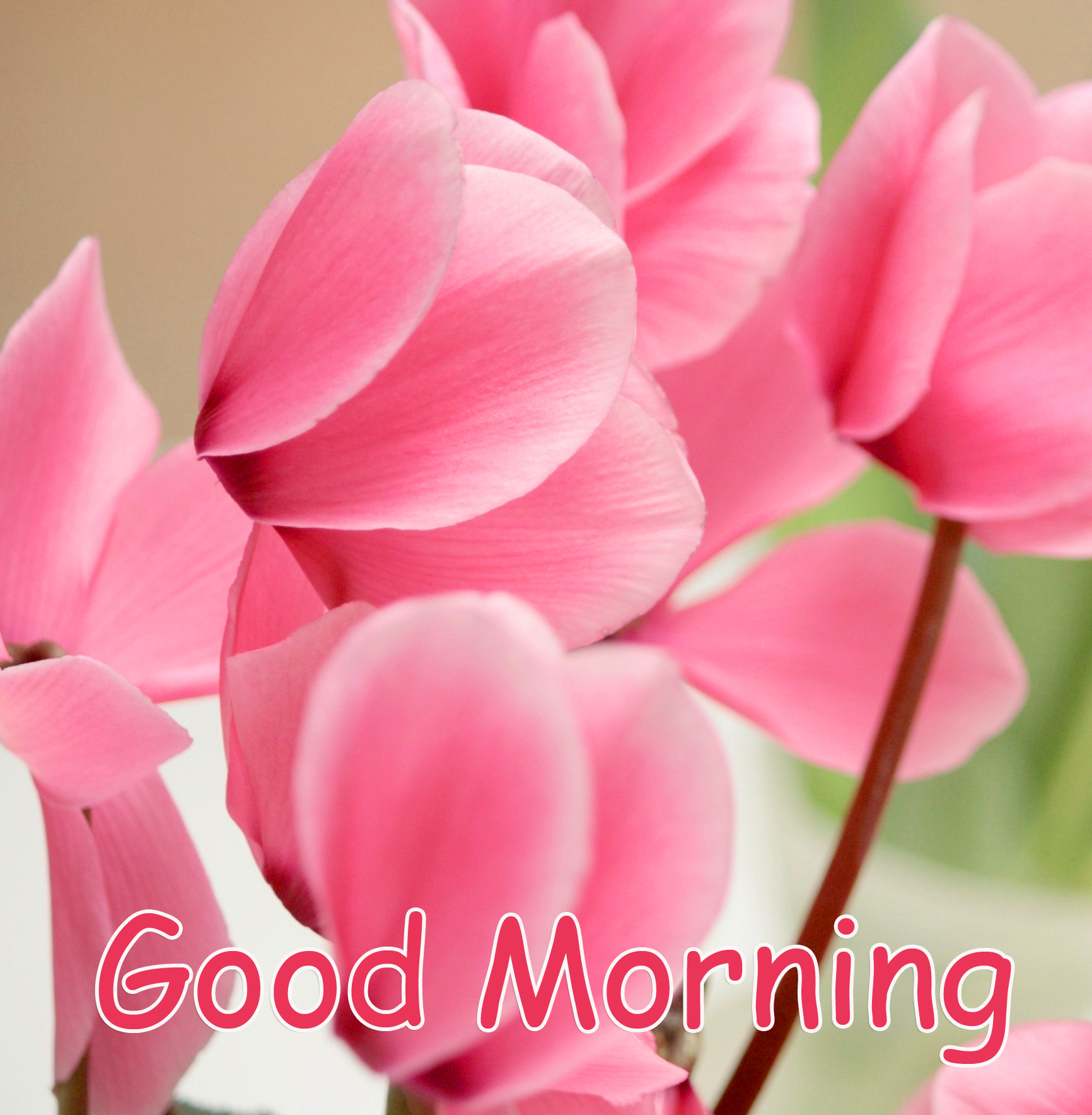 Pink Flower Good Morning HD Image