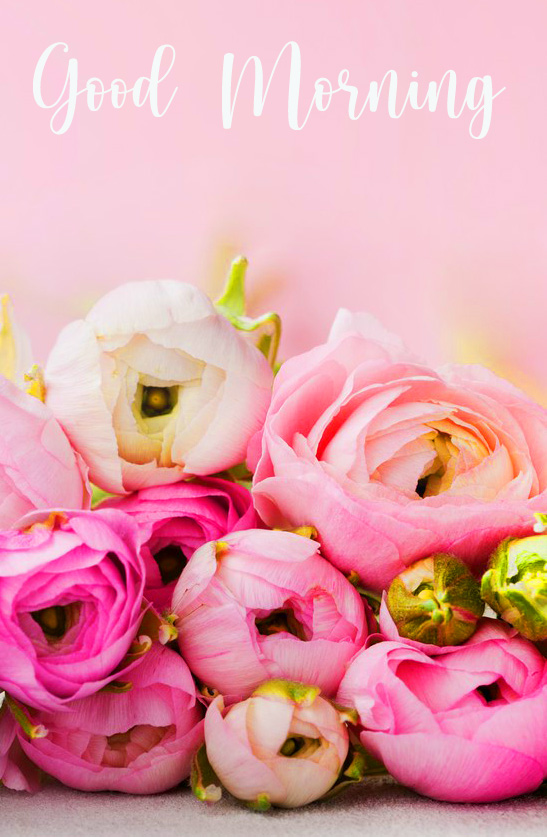 Pink Flower Roses Good Morning Image