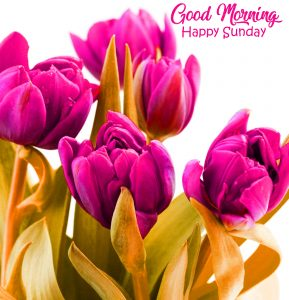 Pink Tulips Good Morning Happy Sunday Photo