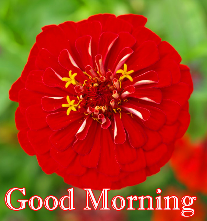 Red Flower Good Morning HD Picture