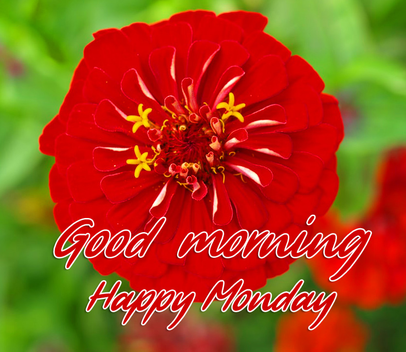 Red Flower Good Morning Happy Monday Wallpaper