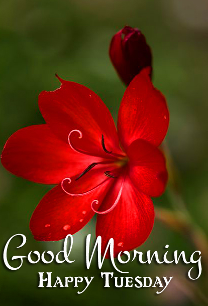 Red Flowere HD Good Morning Happy Tuesday Pic