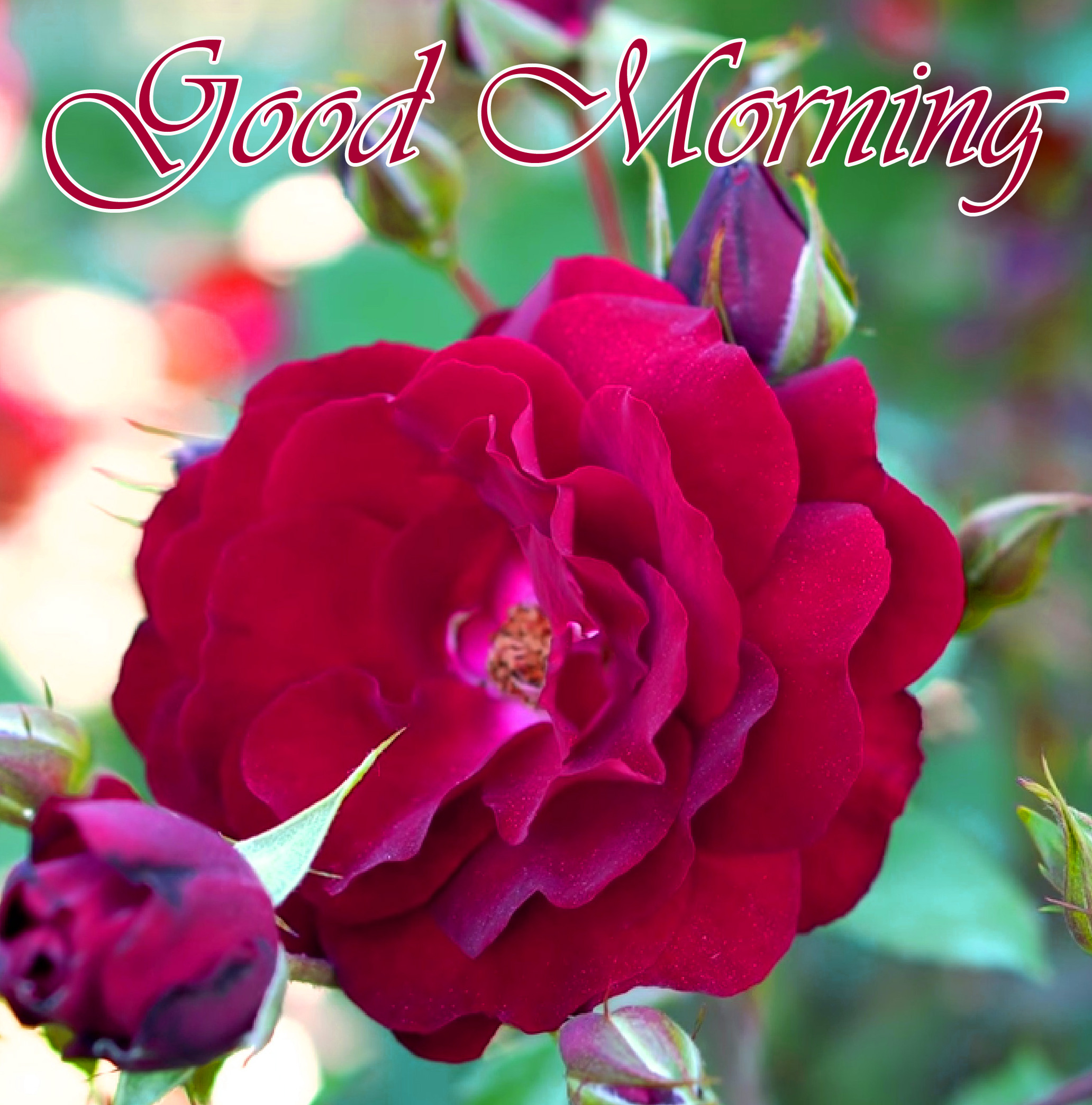 Red Rose Good Morning Picture