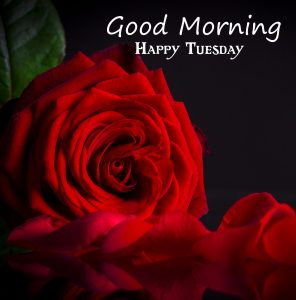 Red Rose HD Good Morning Happy Tuesday Wallpaper