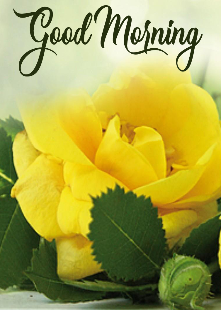 Yellow Rose Good Morning Image