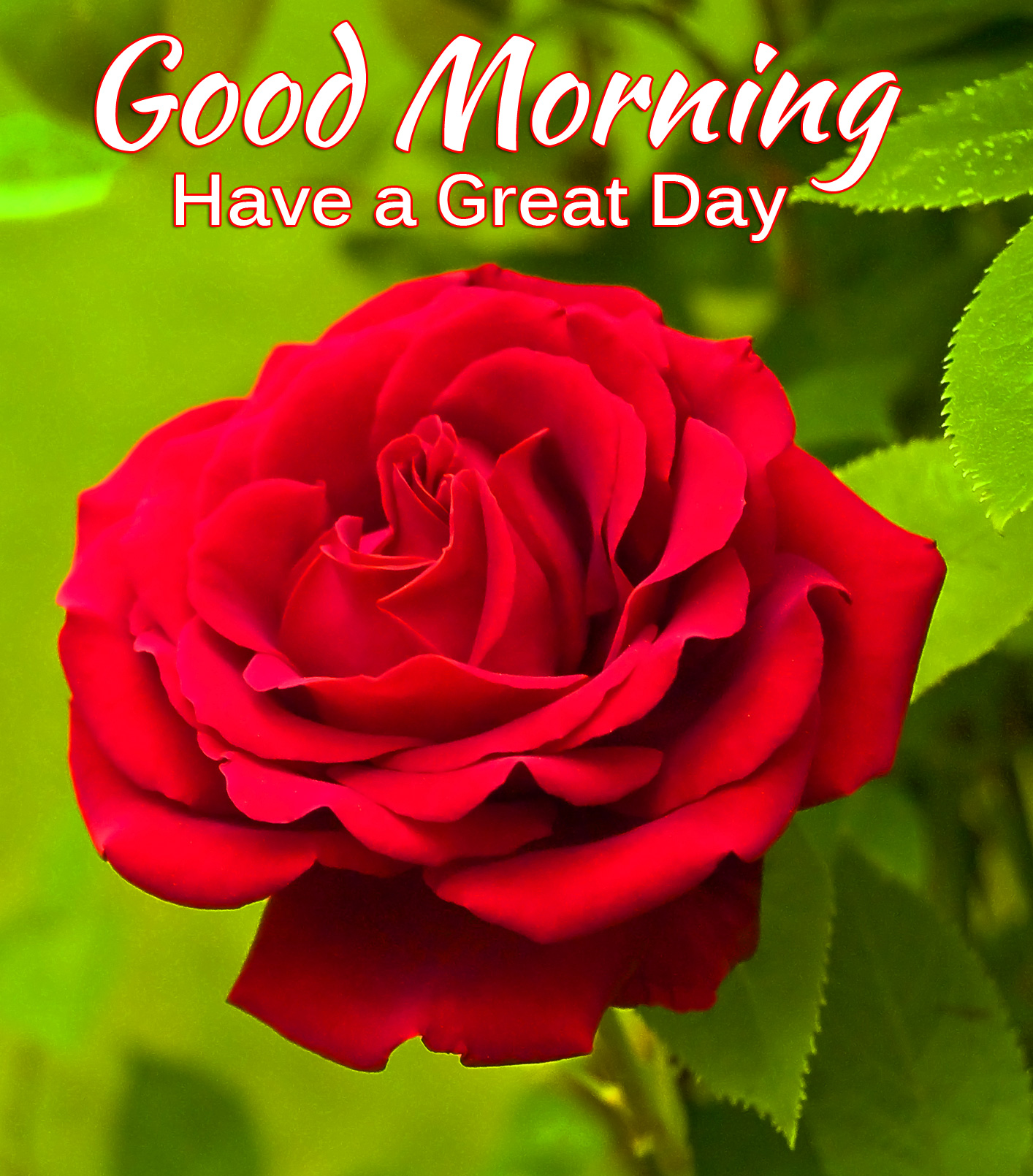 Red Rose Good Morning Have a Great Day Picture